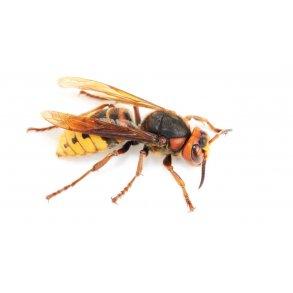 Hvepsebekæmpelse